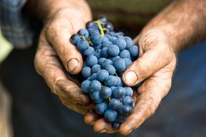 Ein Man hält reife Trauben in der Hand.