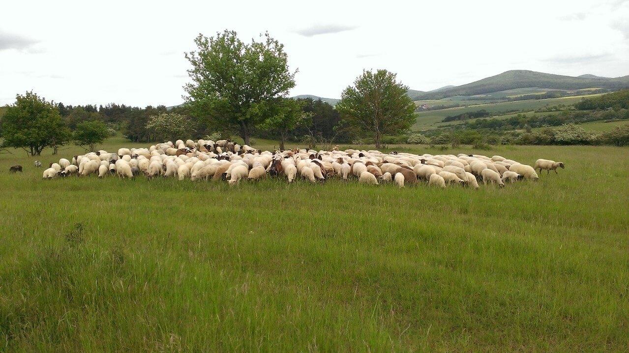 Die Schafherde hält zusammen.