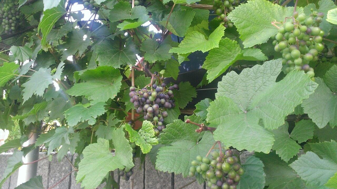 Ein Weinstock mit Trauben und Ästen, von denen Triebe abgeschnitten wurden.
